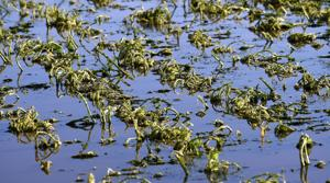 Governor asks for USDA disaster designation for 11 Montana counties with crop losses