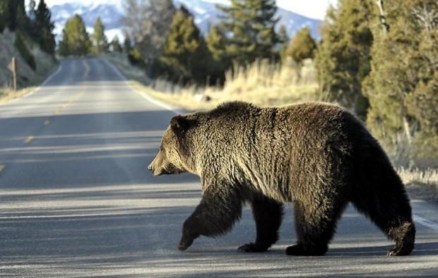 Griz in Yellowstone Park