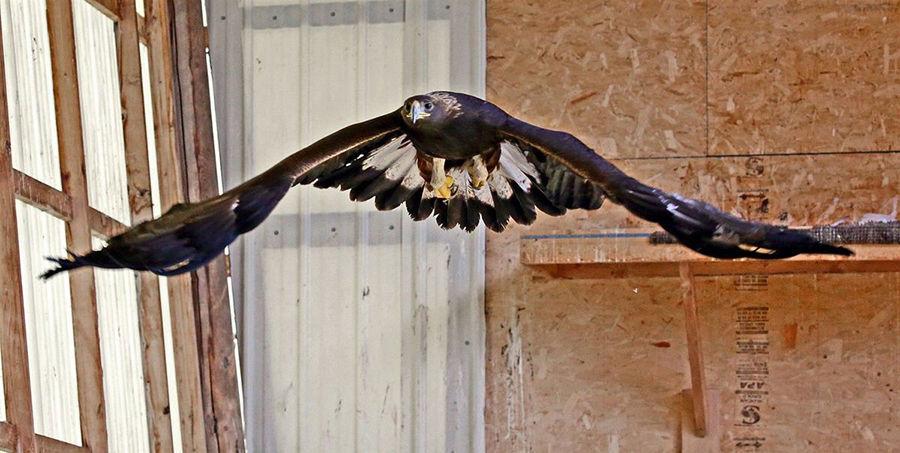 A golden eagle flies