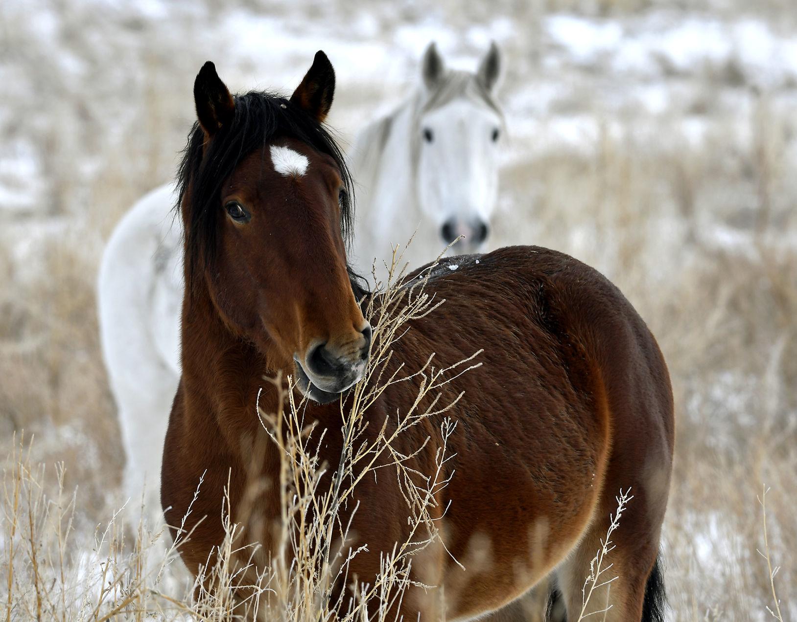 Ghost Herd Wild Horses Make Rare Appearance Local News Missoulian Com