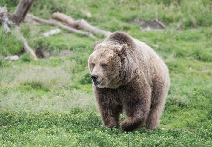 Grizzly bear dies