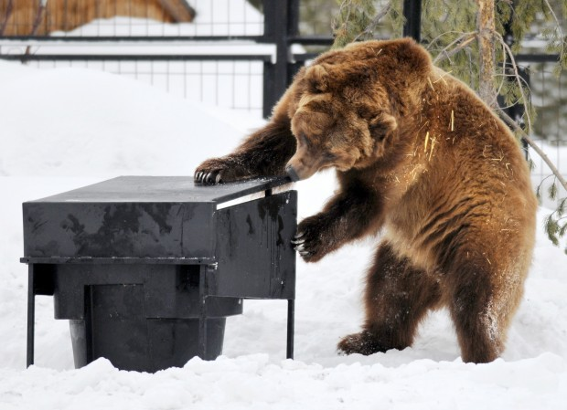 A 650-pound Alaskan brown bear named Kobuk