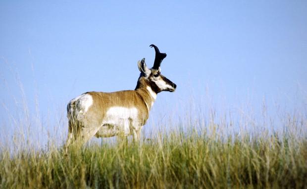 072612 Antelope Buck nk.jpg