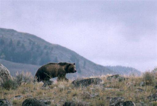 Montana experts studying bear-hunter interactions