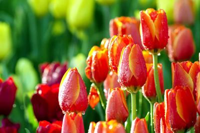 Orange tulips in the tulip garden, stock