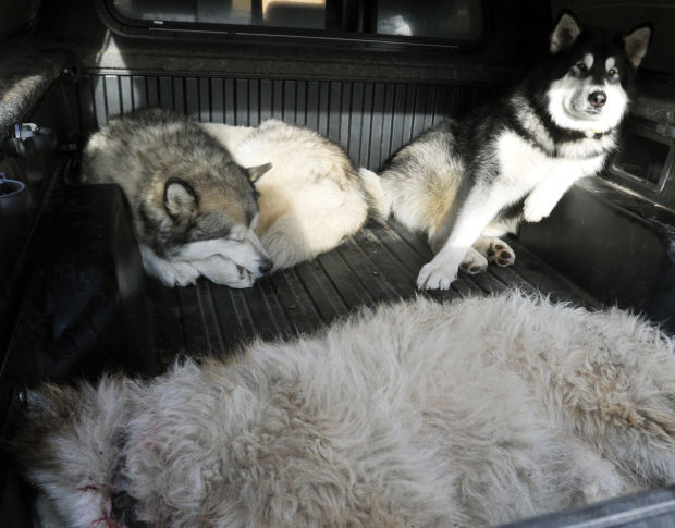 Layne Spence's Malamutes Rex and Frank
