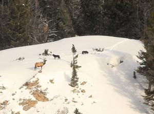Fish and Wildlife Commission tightens wolf, elk hunting rules