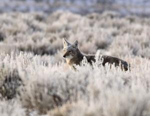 Montana lawmakers consider opening aerial predator hunting to nonresidents