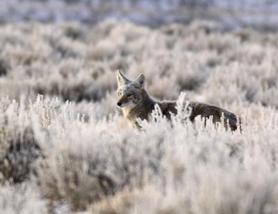 A frosty coyote out hunting at first light.