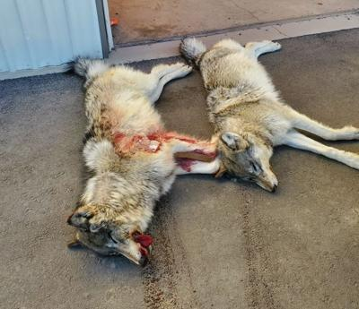 Poached wolves