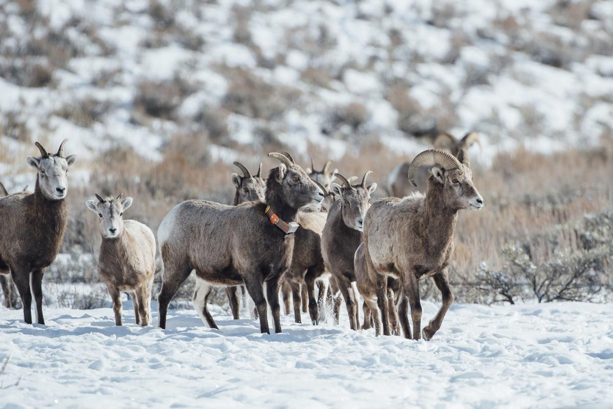 Ecology Students Participate in Big Horn Sheep Capture