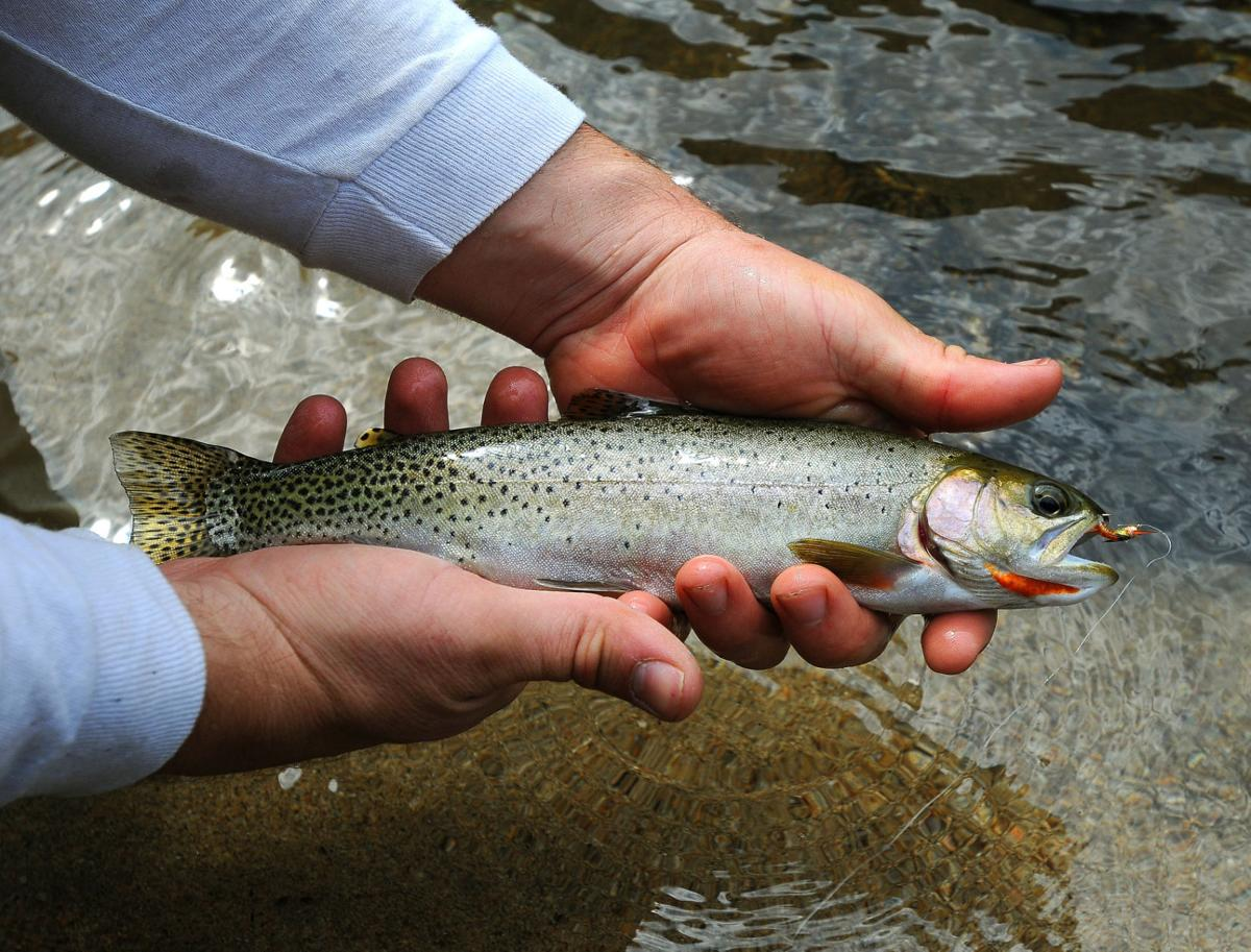 cutthroat trout fish
