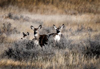 Prairie deer