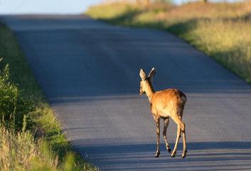 Deer on a road