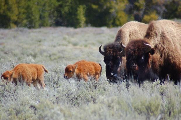 Buffalo near YS-Eve