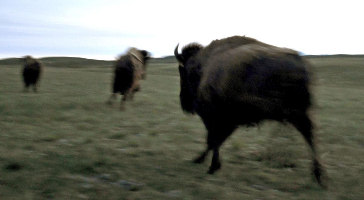 Blackfeet Bison 1