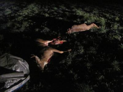 Flathead Reservation poaching
