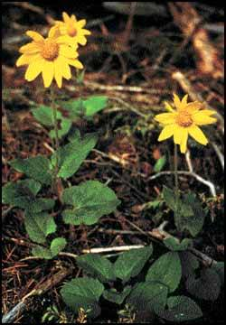 Native Plants: Arnica not afraid to show off on forest floor