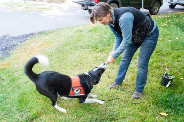 Seamus, part of a team that detects noxious weeds, plays with Aimee Hurt