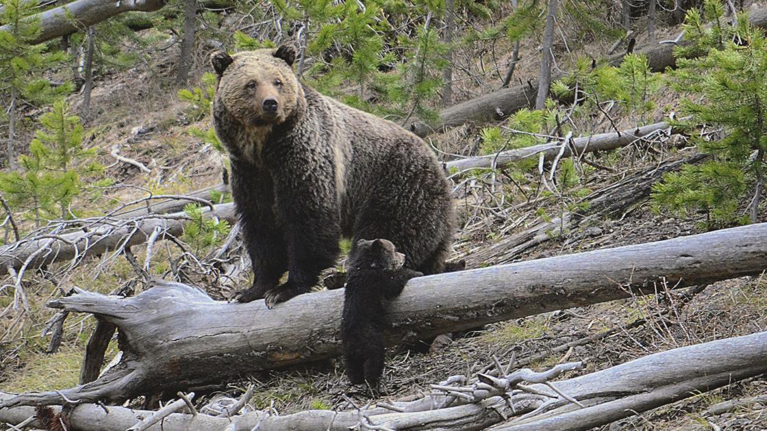 Yellowstone grizzly bears being killed to protect Wyoming cows