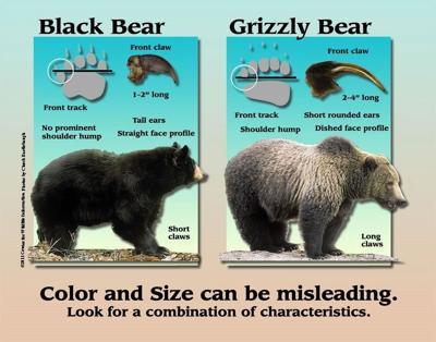 Black bears vs grizzly bears