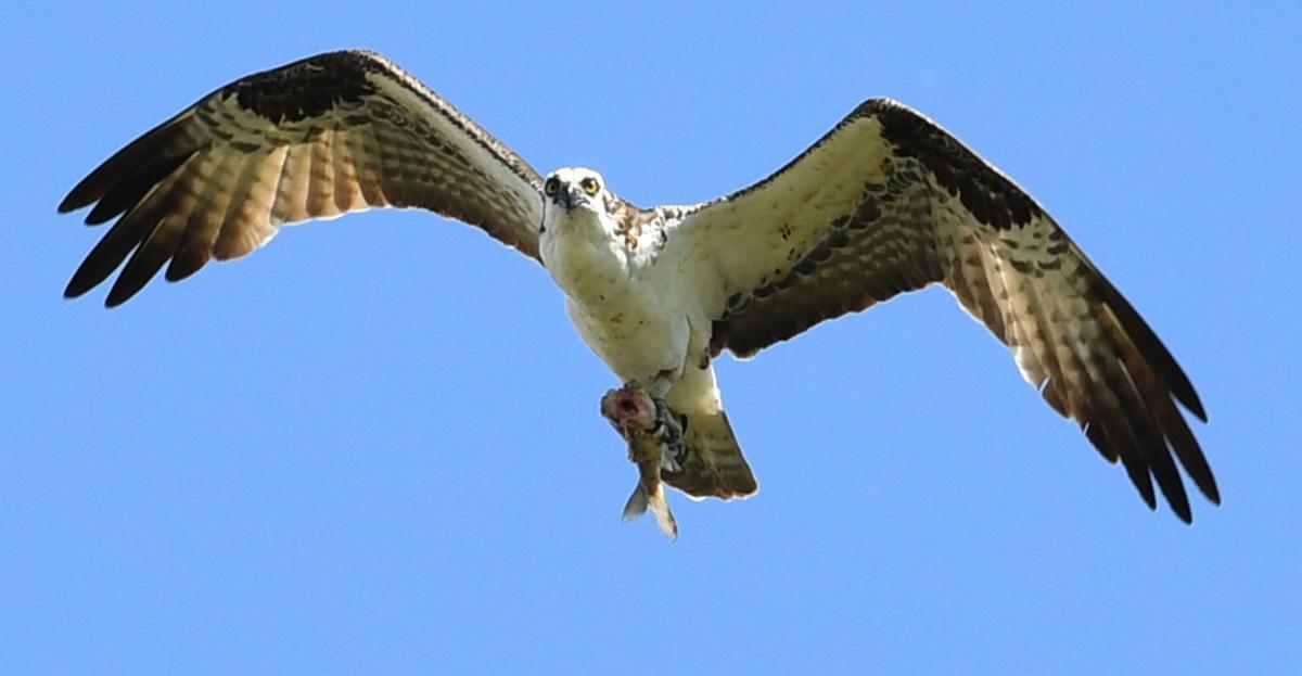 090418 sussex osprey2 kw.jpg