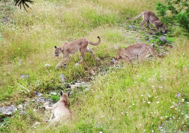 Caught on camera: Game cam captures remarkable images of wildlife in Sapphire Mountains