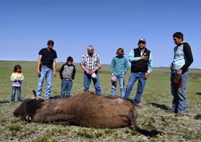 Buffalo rising: Iconic animal's return feeds renaissance of Blackfeet culture