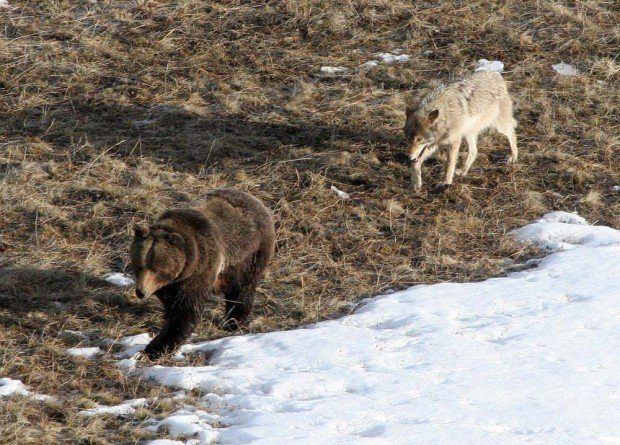 Wolf tracking Yellowstone grizzly