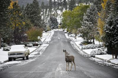 A mule deer doe crosses Sanders St.