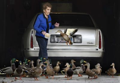 Lunchtime for a plump of ducks