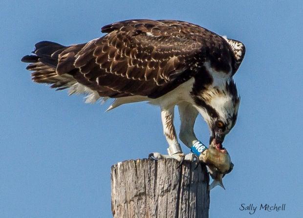 Missoula born osprey sighted in Texas