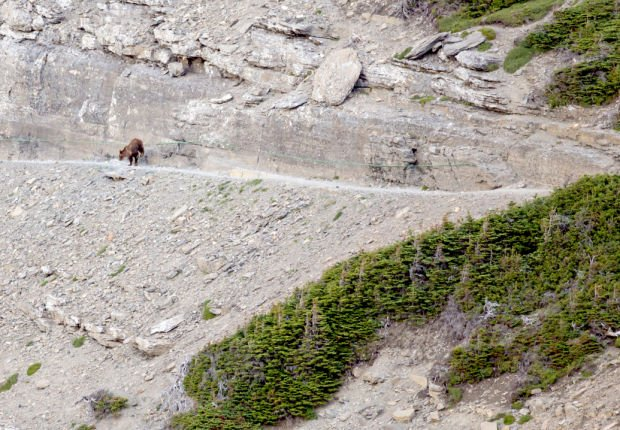 Encounter between a grizzly and human