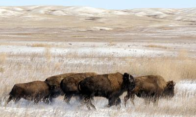 121115 bison1 kw.jpg