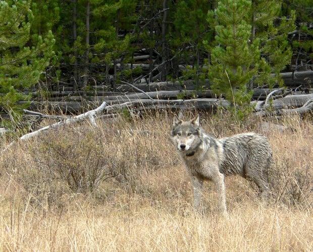 Wolf delisting