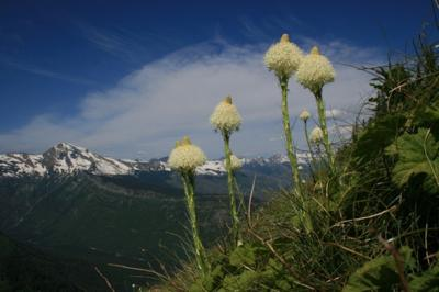 Beargrass blooms along the Highline Trail