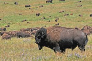 Montana wildlife reserve to offer bison hunts on the prairie