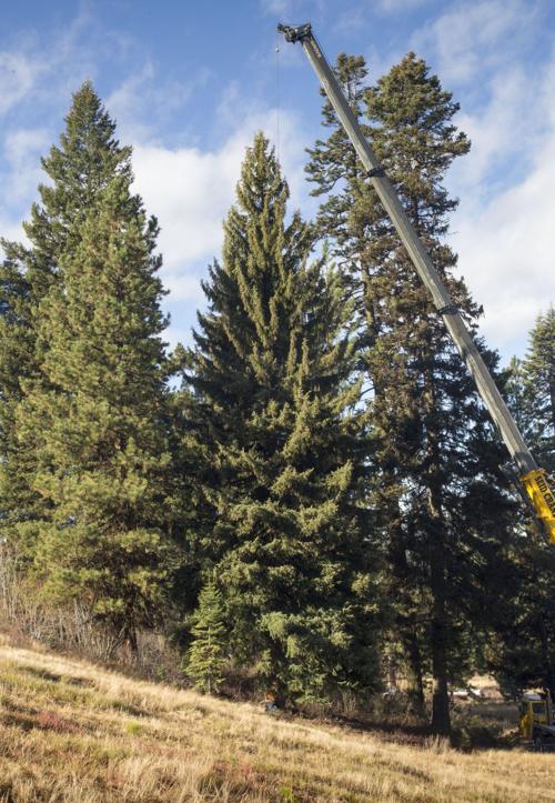 capitol tree (MIS)