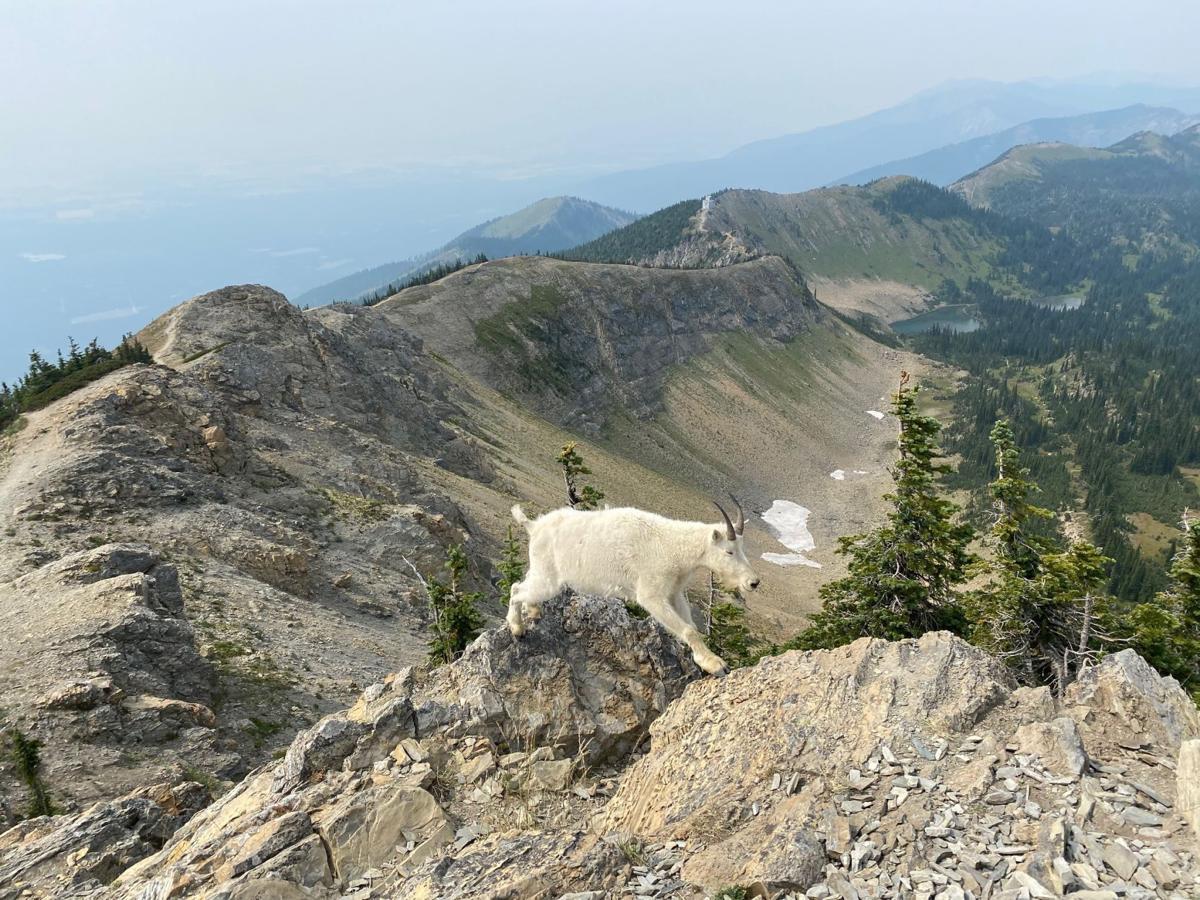 Mount Aeneas mountain goat