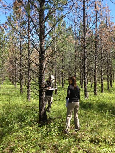 Ponderosa pine study