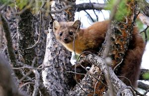First marten released in Little Belt Mountains as relocation effort begins