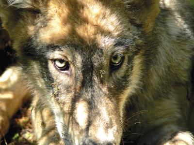 051410 wolf