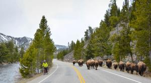 Vehicle strikes, fatally injures Yellowstone bison