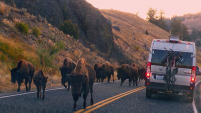 Yellowstone's Lamar River Canyon bison