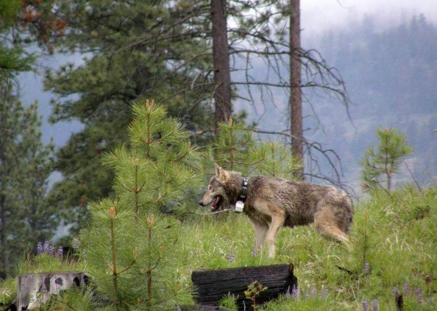 A male wolf is released after being trapped