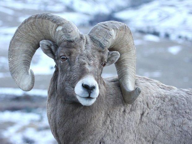 Tendoy sheep