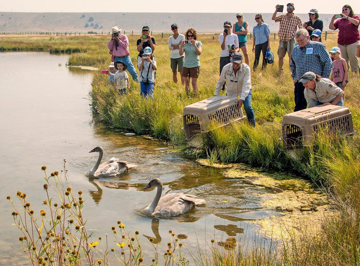 2 trumpeter swans released along madison river outdoors for Fish wildlife and parks