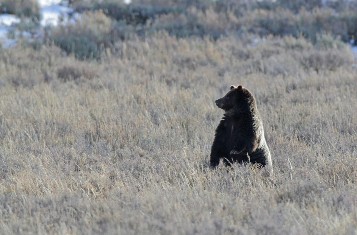 Grizzly bear in Hayden Valley