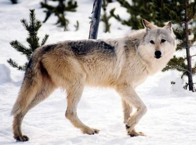 Wolf Hunt Appeal
