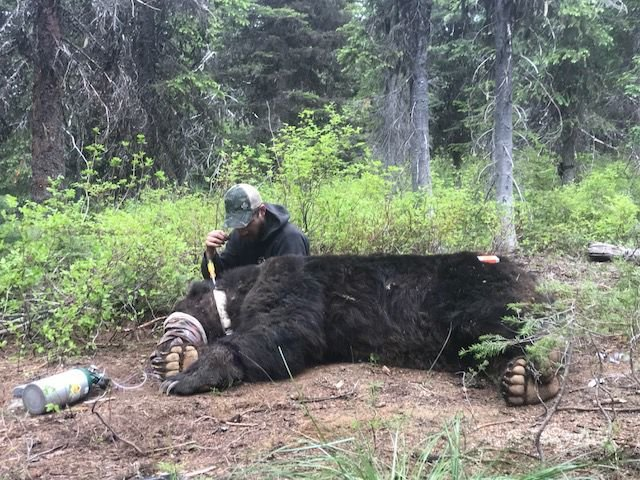 Selkirk grizzly